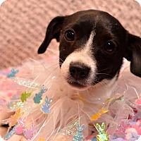 Adopt A Pet :: Lula - Pittsburgh, PA