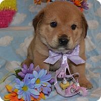 Adopt A Pet :: Shelby (The Tar Heel Group) - Alexandria, VA