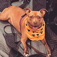 Pit Bull Terrier Dog for adoption in Staunton, Virginia - Duchess