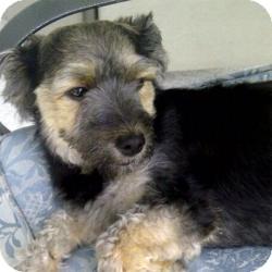 Yorkie, Yorkshire Terrier Mix Dog for adoption in Beechgrove, Tennessee - Cheri