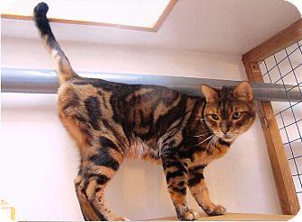 Bengal Cat for adoption in Davis, California - Aston Martin