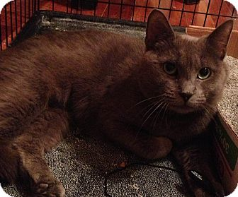 Russian Blue Cat for adoption in Millersville, Maryland - Tabitha