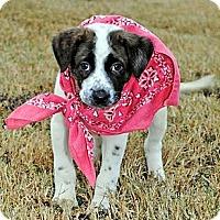 Adopt A Pet :: Prissy - Gonzales, TX