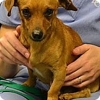 Adopt A Pet :: Nutmeg - Athens, GA