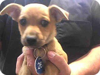 Chihuahua Mix Puppy for adoption in San Bernardino, California - URGENT 11/25 (JARED)