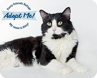 Domestic Shorthair Cat for adoption in West Des Moines, Iowa - Kitty