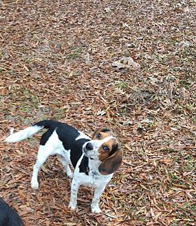 Beagle Dog for adoption in Baton Rouge, Louisiana - Ranger R.