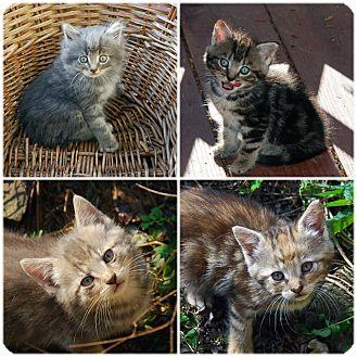Domestic Mediumhair Kitten for adoption in Bloomsburg, Pennsylvania - Cynthia's kittens
