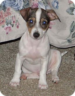 Rat Terrier/Shih Tzu Mix Puppy for adoption in Aiken, South Carolina - Elvis