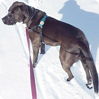 Labrador Retriever Mix Dog for adoption in Bellingham, Washington - Bear