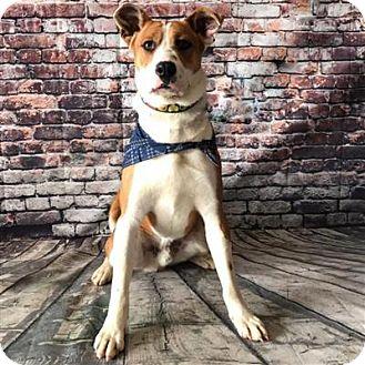 Beagle/Shiba Inu Mix Dog for adoption in Concord, North Carolina - Jim