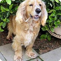 Adopt A Pet :: Chandler (Ritzy) - Lindsay, CA