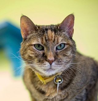 Domestic Shorthair Cat for adoption in Westminster, Colorado - Dolly