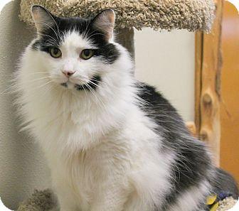 Domestic Mediumhair Cat for adoption in Saranac Lake, New York - Bevis