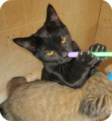 Domestic Shorthair Cat for adoption in Geneseo, Illinois - Lynn