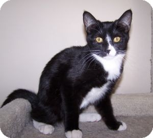 Domestic Shorthair Kitten for adoption in Colorado Springs, Colorado - K-Sitka2-Babycakes