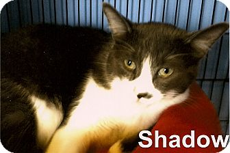 Domestic Shorthair Cat for adoption in Medway, Massachusetts - Shadow
