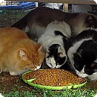 Adopt A Pet :: Barn Cats - Edmond, OK