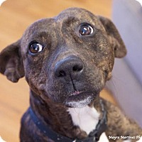 Adopt A Pet :: Gypsy May - Hagerstown, MD