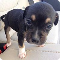 Adopt A Pet :: Samurai (1.5 lb) Adorable! - SUSSEX, NJ