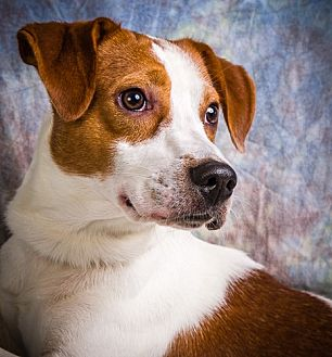 Basset Hound/Beagle Mix Dog for adoption in Anna, Illinois - GIDEON