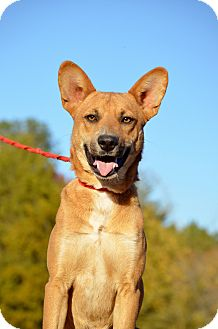 Shepherd (Unknown Type)/Australian Cattle Dog Mix Dog for adoption in Washington, Georgia - Shelton