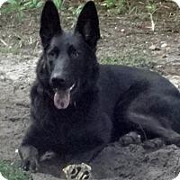 Adopt A Pet :: Black Beauty - Green Cove Springs, FL