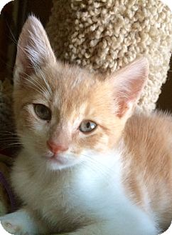 Domestic Shorthair Kitten for adoption in San Diego, California - ARCHIE