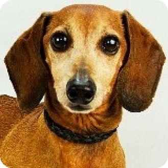 Dachshund Dog for adoption in Houston, Texas - Knox Knuckleball