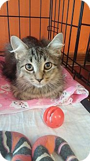Domestic Shorthair Kitten for adoption in Middletown, New York - Drain Pipe