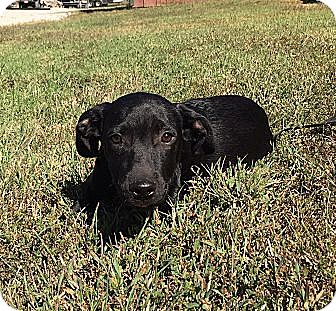 Labrador Retriever/Border Collie Mix Puppy for adoption in Spring Valley, New York - Bixby
