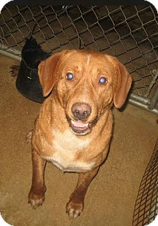 Labrador Retriever Mix Dog for adoption in Huntley, Illinois - Ringo