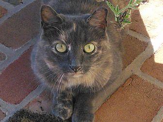 Domestic Shorthair Cat for adoption in Carlisle, Pennsylvania - ScraperCP