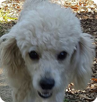 Poodle (Miniature) Dog for adoption in Alpharetta, Georgia - Dejavu