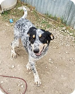 Australian Cattle Dog Mix Puppy for adoption in Jarrell, Texas - Oreo