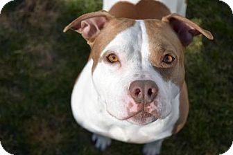 Pit Bull Terrier Mix Dog for adoption in Elizabethtown, Pennsylvania - Evie