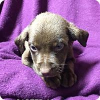 Adopt A Pet :: Carter - Trenton, NJ