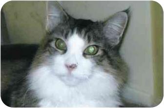Maine Coon Cat for adoption in Brea, California - Trevor