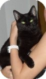 Domestic Shorthair Cat for adoption in Ocean City, New Jersey - Simba