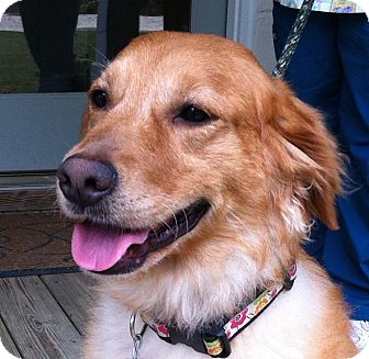 Golden Retriever Dog for adoption in New Canaan, Connecticut - Mae