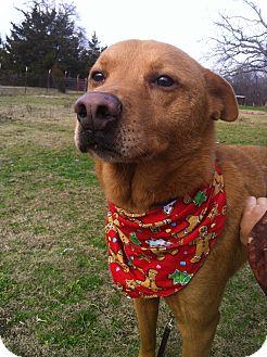 Labrador Retriever/Shepherd (Unknown Type) Mix Dog for adoption in Brattleboro, Vermont - Buddy
