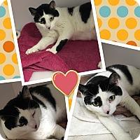 Adopt A Pet :: Pixel - Goshen, NY