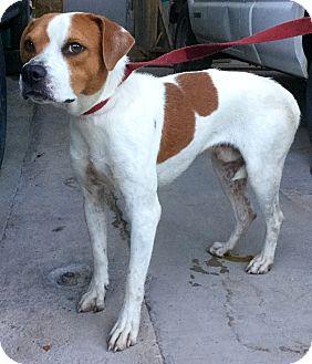 Hound (Unknown Type) Mix Dog for adoption in Phoenix, Arizona - Hutch