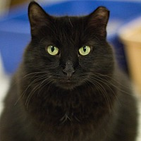 Domestic Mediumhair Cat for adoption in Grayslake, Illinois - Madonna
