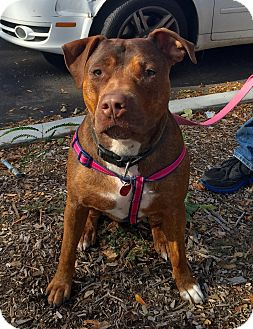Pit Bull Terrier Mix Dog for adoption in Sagaponack, New York - Annie