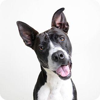 Terrier (Unknown Type, Medium)/Border Collie Mix Dog for adoption in Wilmington, Delaware - Prancer