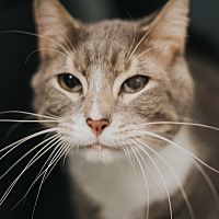 Adopt A Pet :: Conrad - Indianapolis, IN
