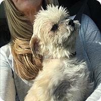 Adopt A Pet :: Bella - Thousand Oaks, CA