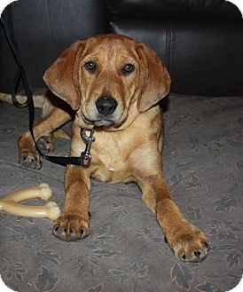 Hound (Unknown Type) Mix Puppy for adoption in kennebunkport, Maine - Sandy - PENDING, in Maine