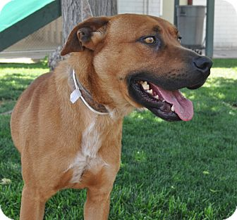Shepherd (Unknown Type)/Golden Retriever Mix Dog for adoption in Phoenix, Arizona - Thumper